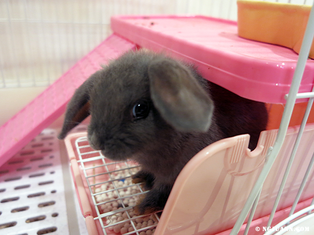 Introducing #Pancakes – My New Holland Lop Friend